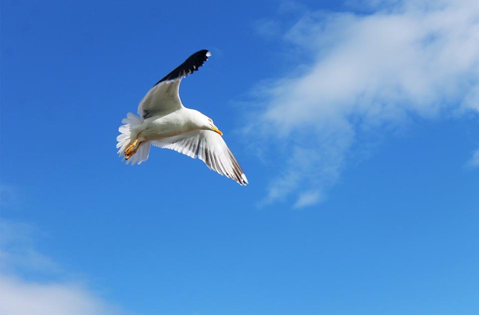 Bird, Seagull, Gull, Fly, Animal, Nature, Sea, Flight