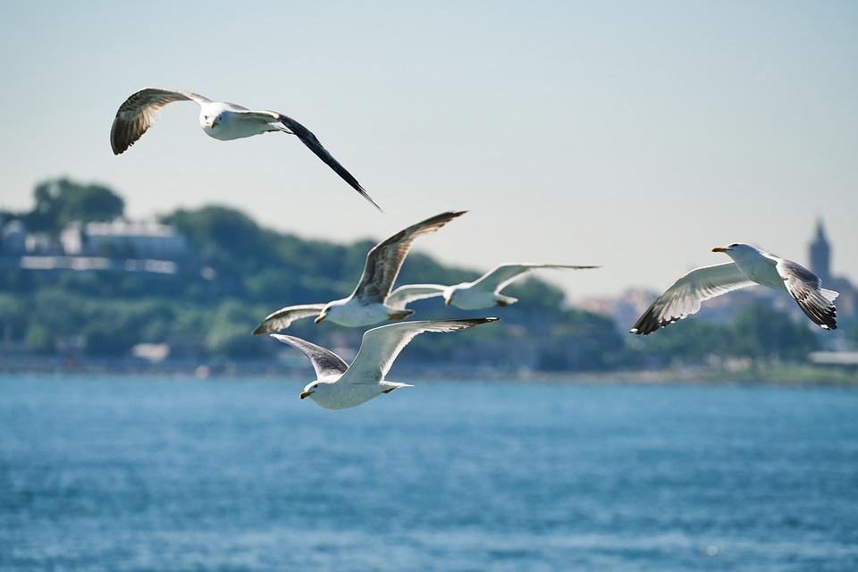 Seagull, Bird, Fly, Freedom, Animal, Gaga, Feather