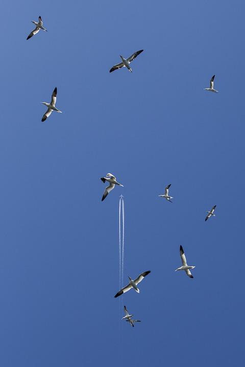 Gannet, Bass Rock, Seabird, Scotland, Berwick, Seagull