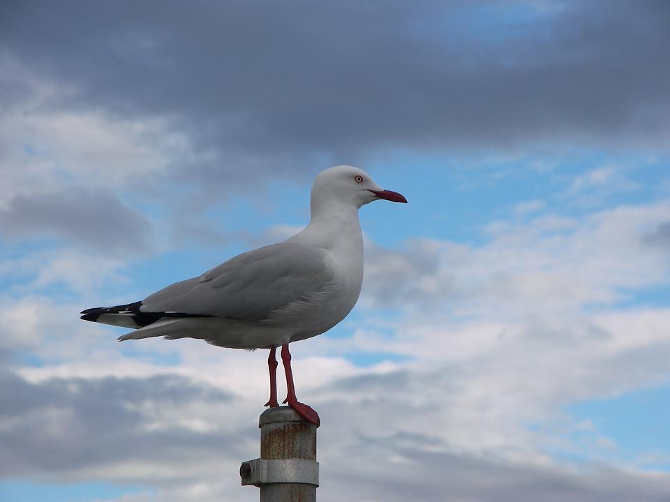 Seagull, Bird, Sky, Gull, Outdoor, Freedom, Nature