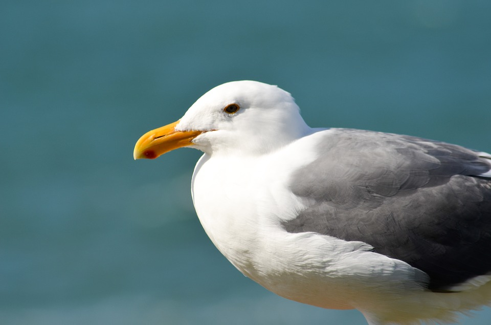 Seagull, Bird, Gull, Nature, Seabird, Seaside, Coastal