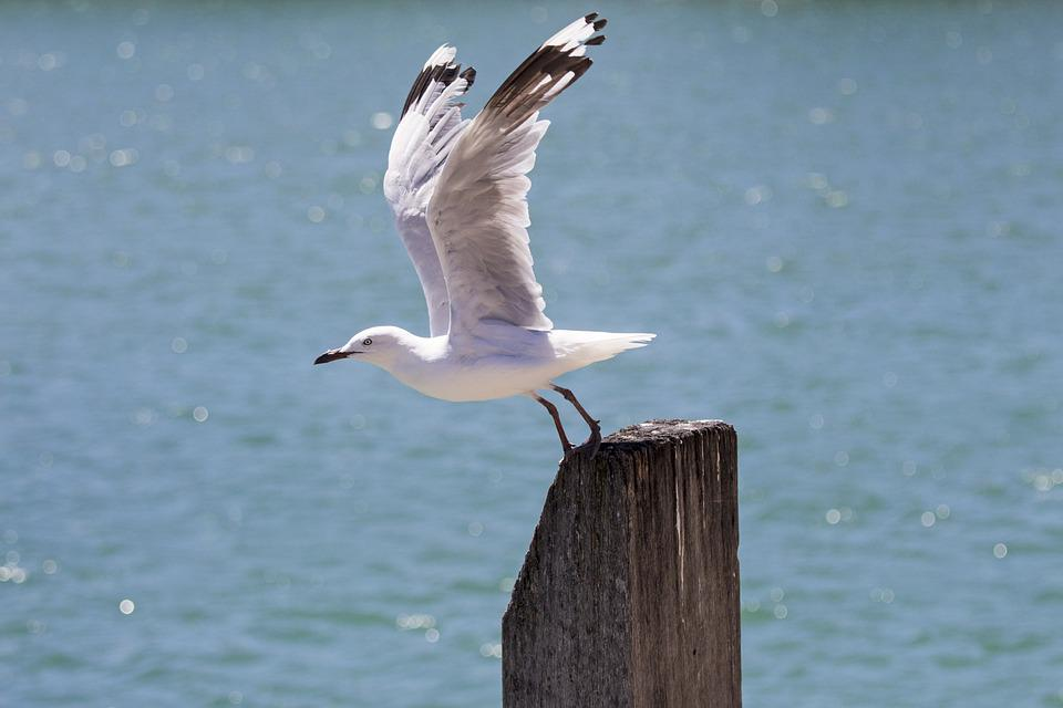 Seagull, Gull, Sea, Bird, Flight, Wildlife, Water, Blue