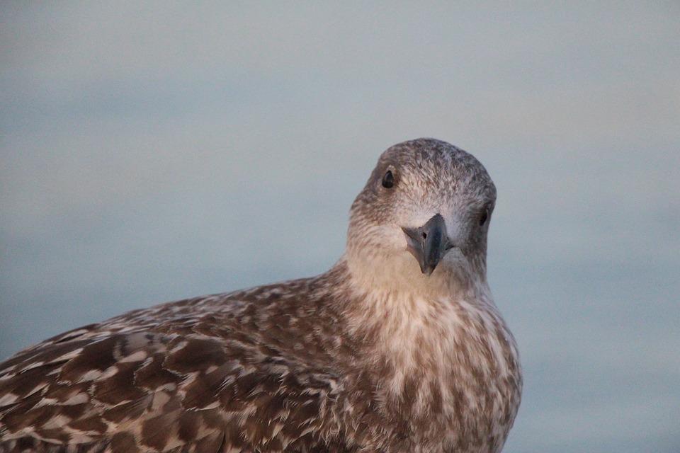 Seagull, Beach, Ocean, Bird, North Sea, Baltic Sea