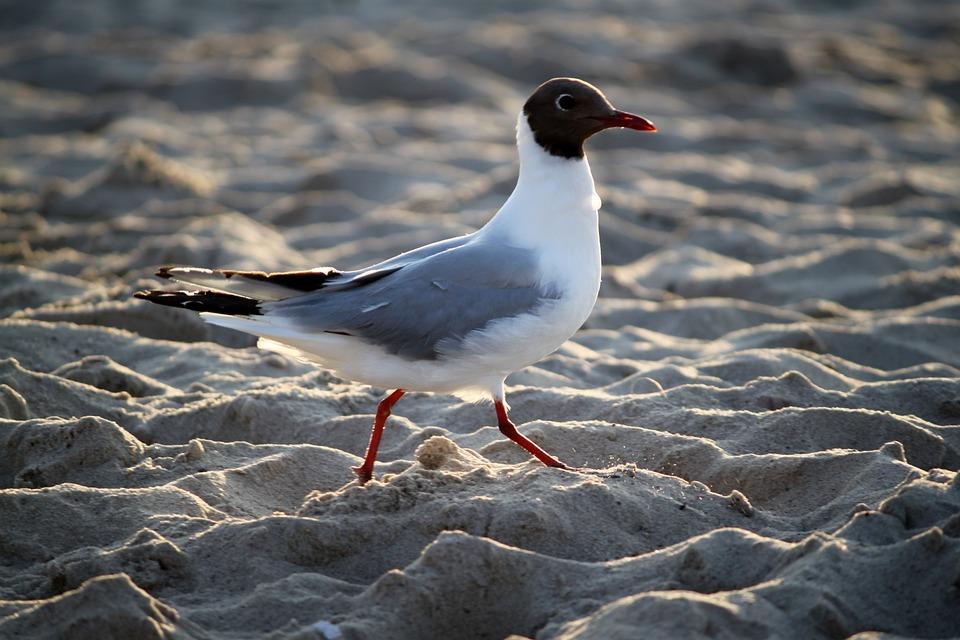 Seagull, Over, The Sea