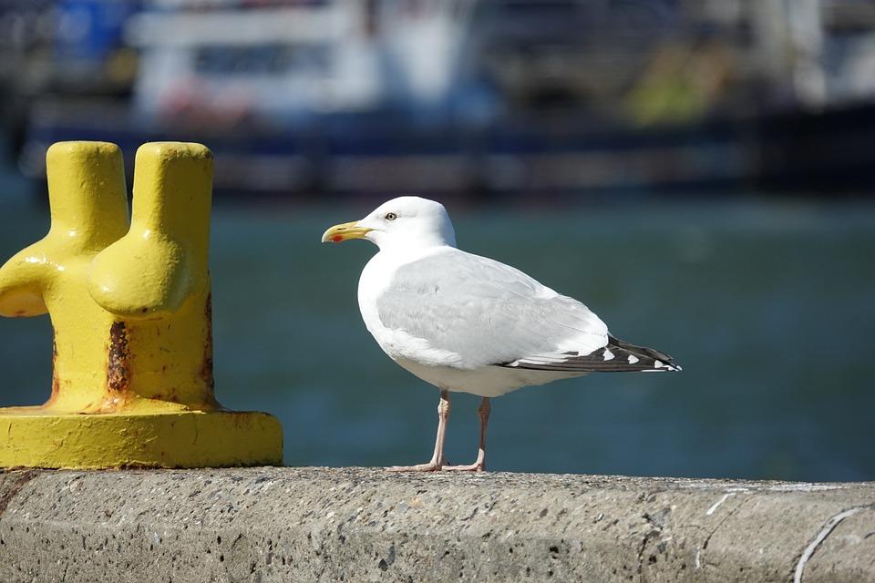 Seagull, Port, Quay Wall