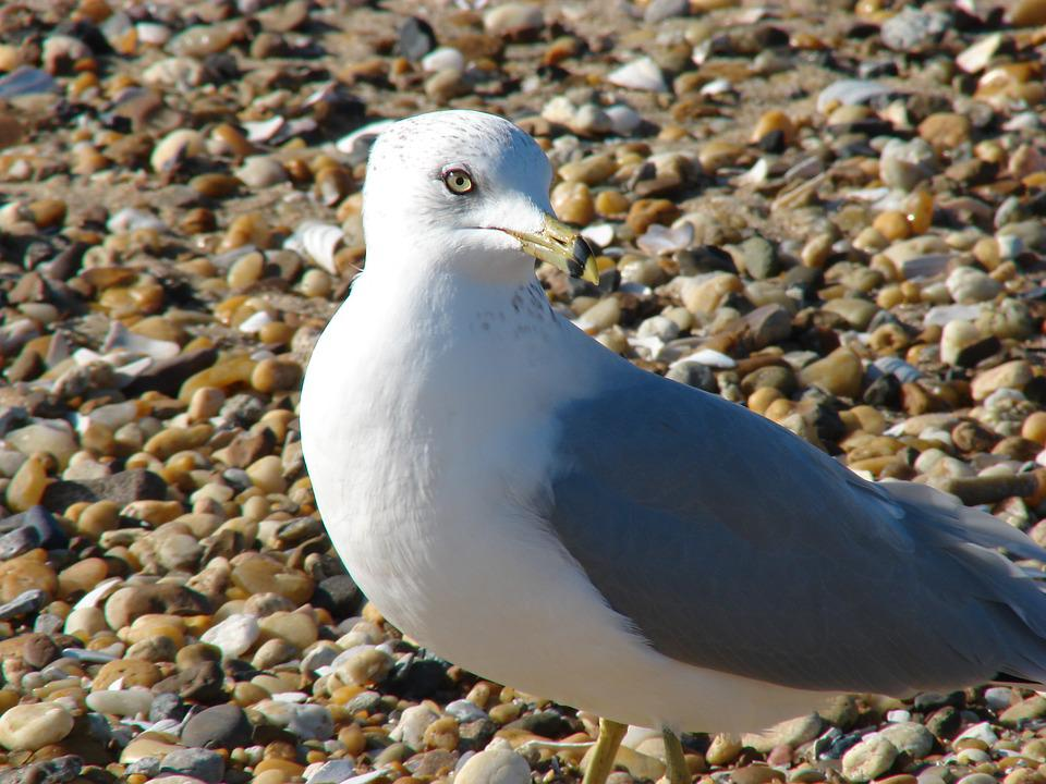 Seagull, Proud, Pebbles