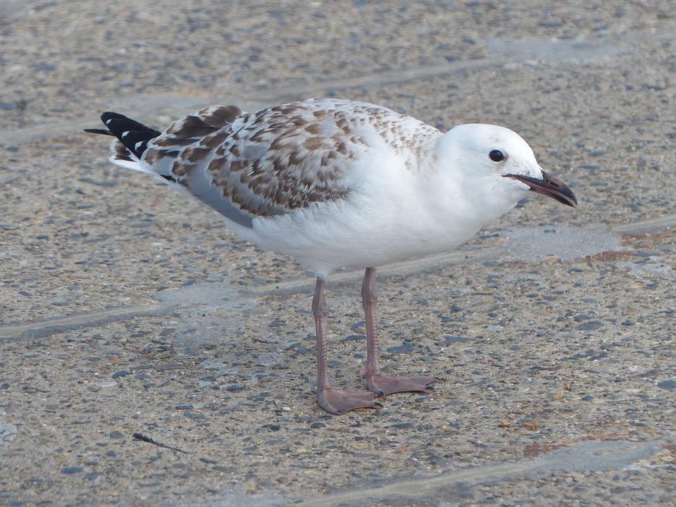 Seagull, Young Silver Gull, Sea-bird, Bird, Fly, Wings