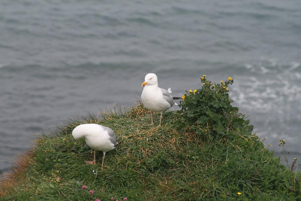Seagull, Bird, Seabird