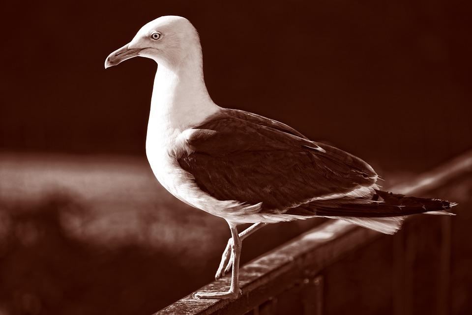 Seagull, Gull, Bird, Seabird, Animal, Wildlife, Plumage