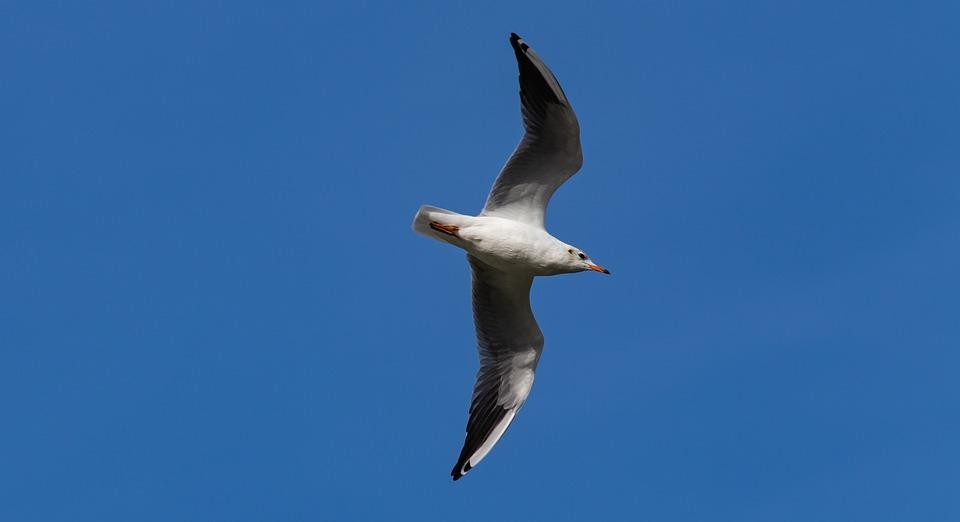 Seagull In Sky, European Herring Gull, Seagull, Gull