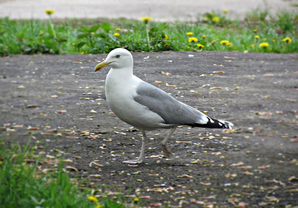 Seagull, Sea, Spacer, Bird, Water, Nature, The Coast