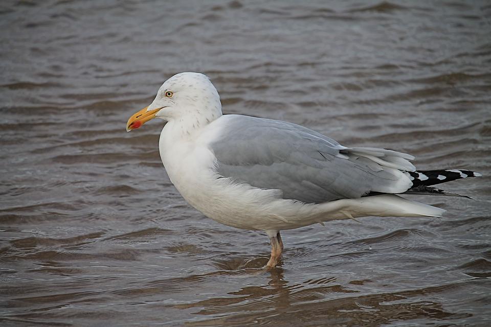 Seagull, Water, Lake, Water Bird, Animal, Bird