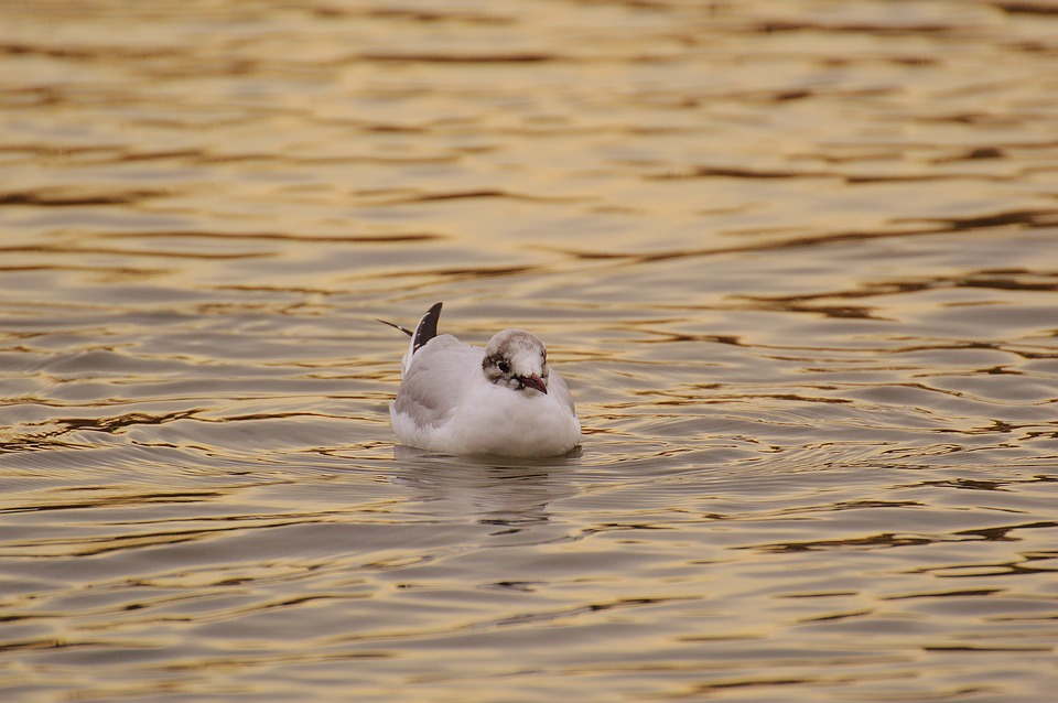 Seagull, Water, Lake, Animal World, Bird, Feather