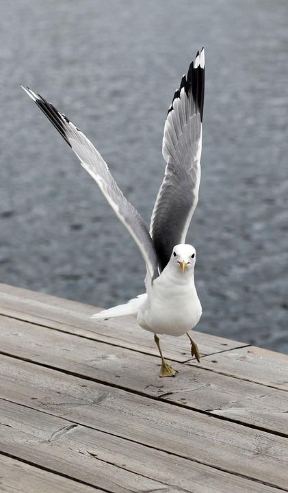 Seagull, Bird, Wings, Birds, Seagulls, Sea, Ave, Nature