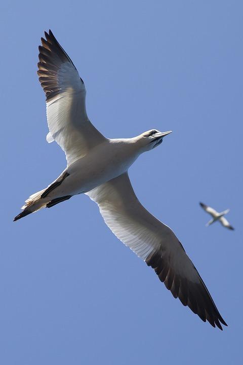 Animals, Birds, Flight, Flying, Gulls, Seagulls, Sky