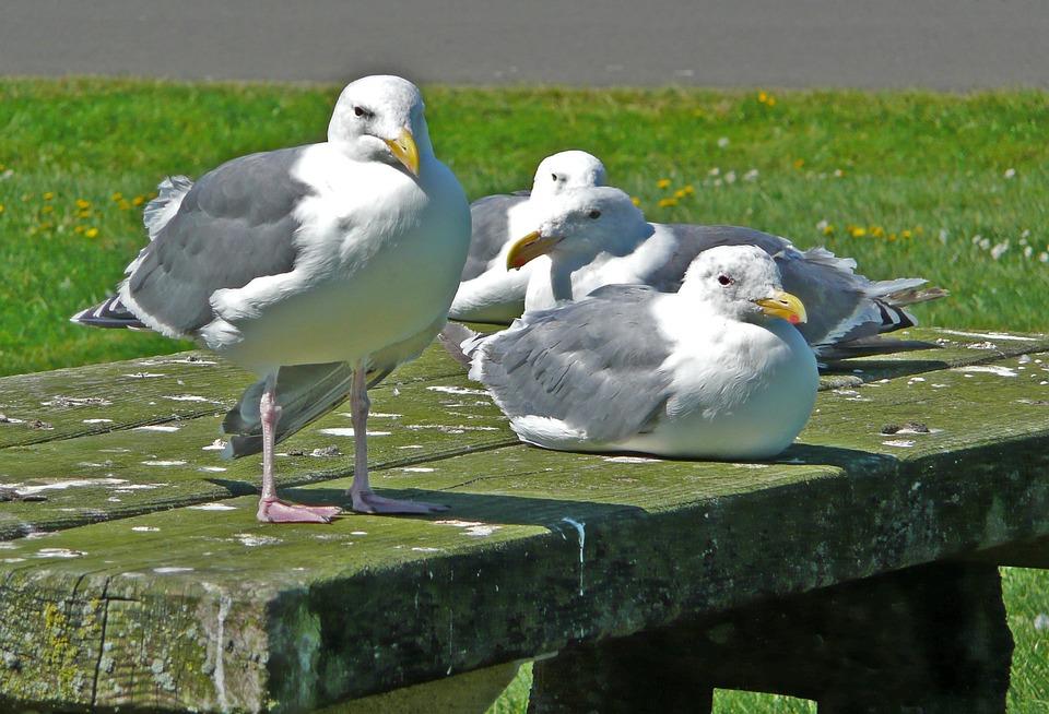 Seagulls, Waterbirds, Birds, Feathered, Nature, Animals