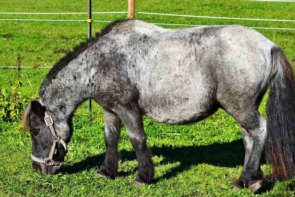 Pony, None Of The Horse, Seahorses, Mane