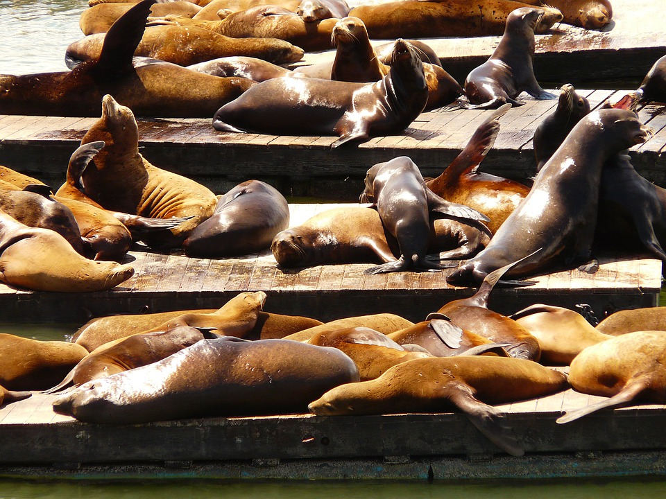 Crawl, Seal Colony, Seal, Sea Lion, Animal, Group