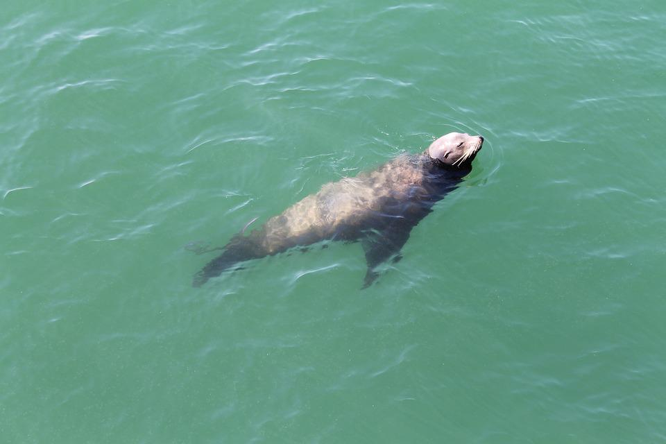 Seal, Ocean, Water, Newport Beach