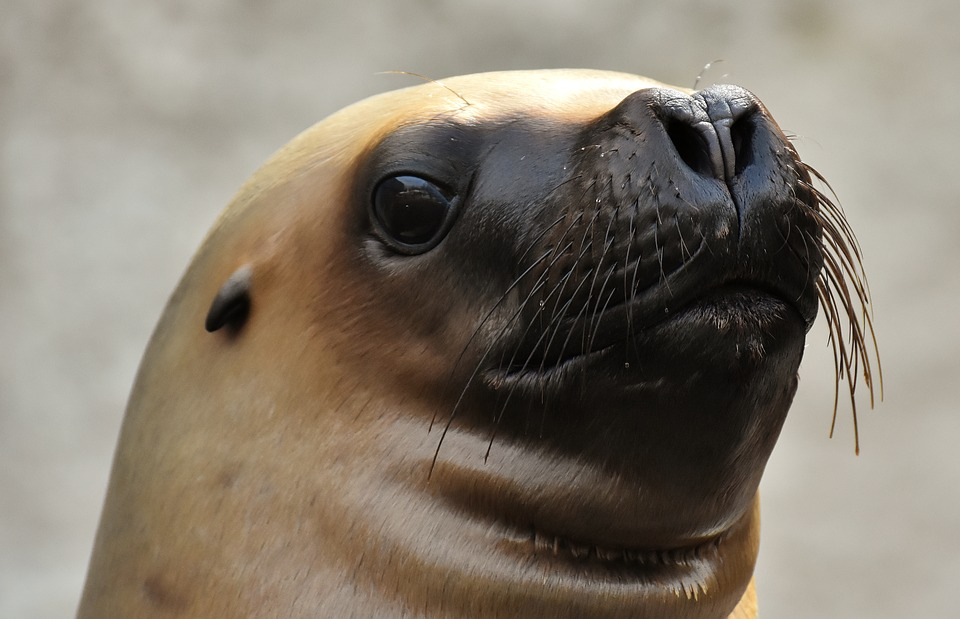 Seal, Sea Lion, Swim, Water, Robbe, Meeresbewohner