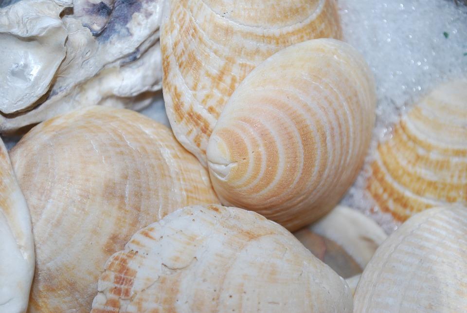 Seashell, Sea, Shellfish, Shell, Memory, Scallop