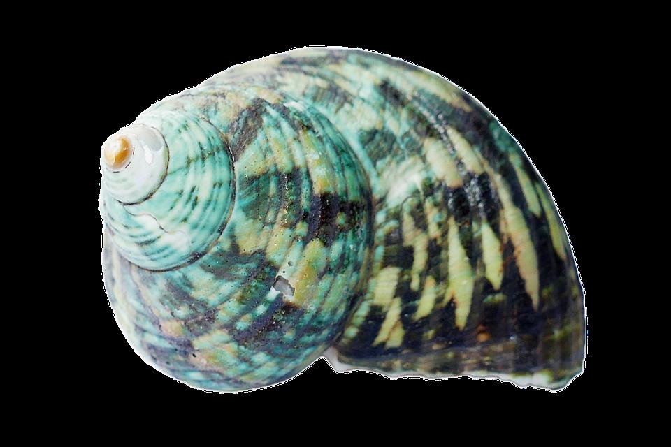 Seashell, Shells, Sea, White, Beach, Nature, Marine