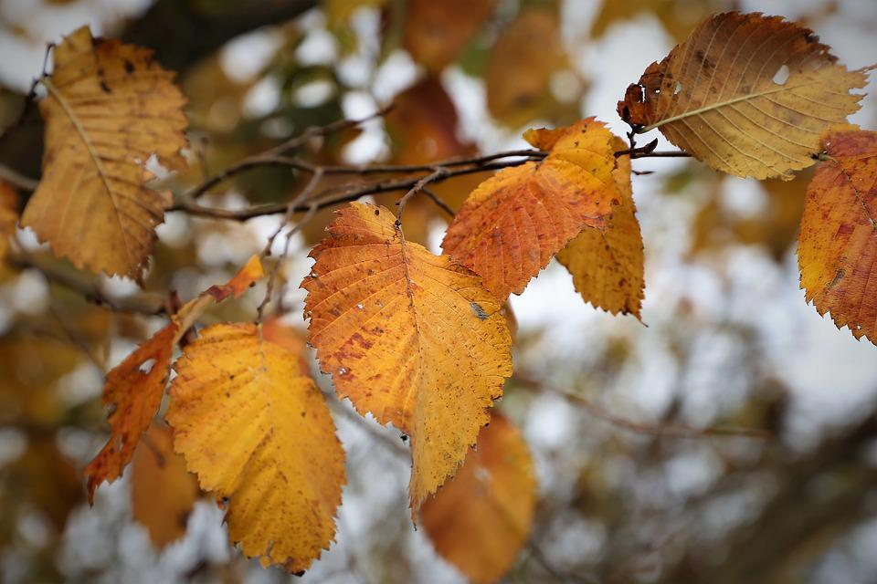 Yellow Leaves, Autumn, Season, Branch, Nature, Outdoor