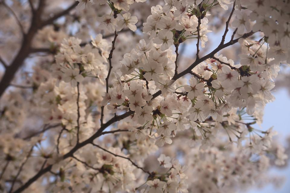 Tree, Branch, Cherry, Season, Flower, Sakura