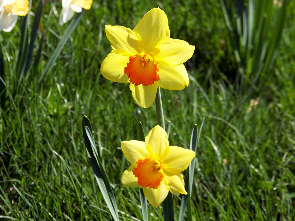 Daffodils, Flowers, Spring, Nature, Easter, Season
