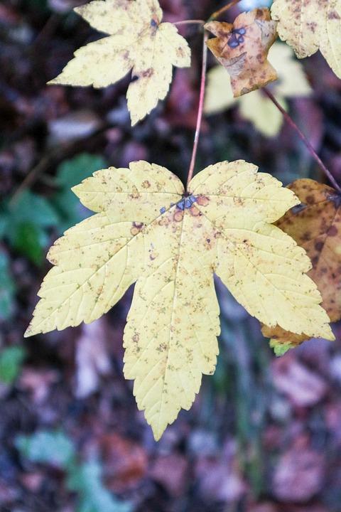 Autumn, Yellow Sheet, Leaf, Maple, Season, Fall Foliage