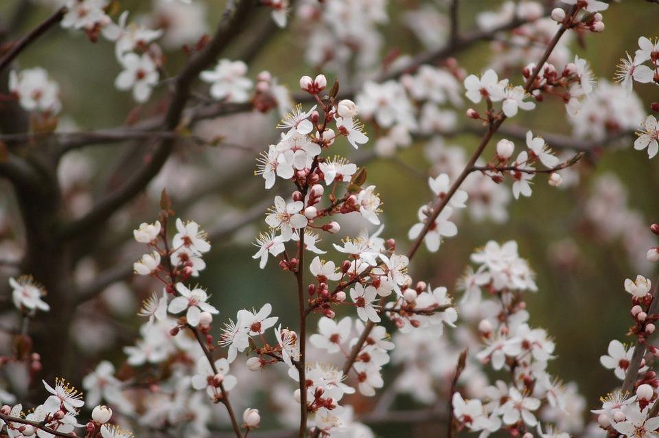 Flower, Plum, Tree, Season, Nature, Blooming, Floral