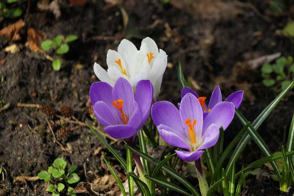 Nature, Flower, Plant, Season, Flowers, Crocus, Purple