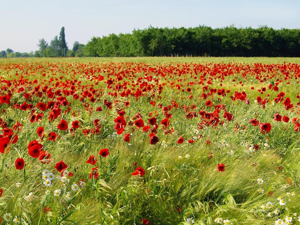 Field, Flower, Ref, Green, Nature, Season, Plant, Rural