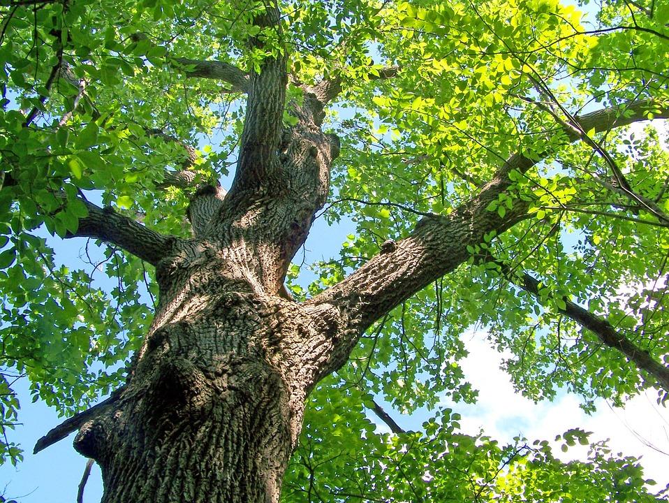 Oak, Tree, Summer, Leaves, Branch, Leaf, Season