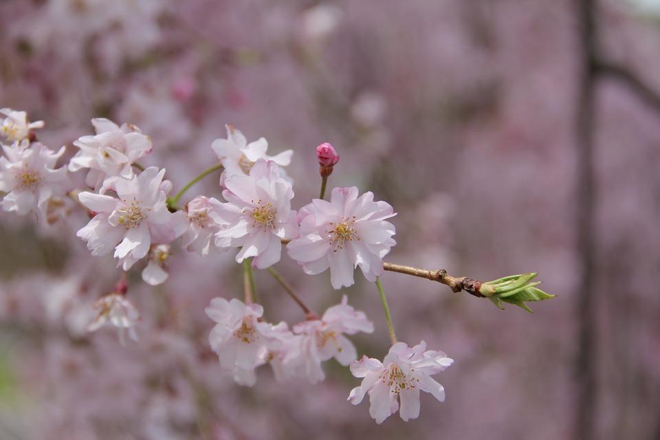 Flower, Flora, Nature, Cherry, Season, Blooming