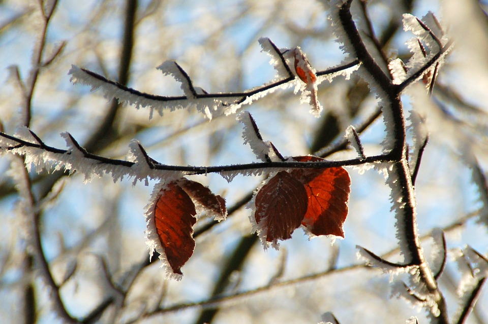 Nature, Outdoor, Branch, Season, Winter, Red, Leaves