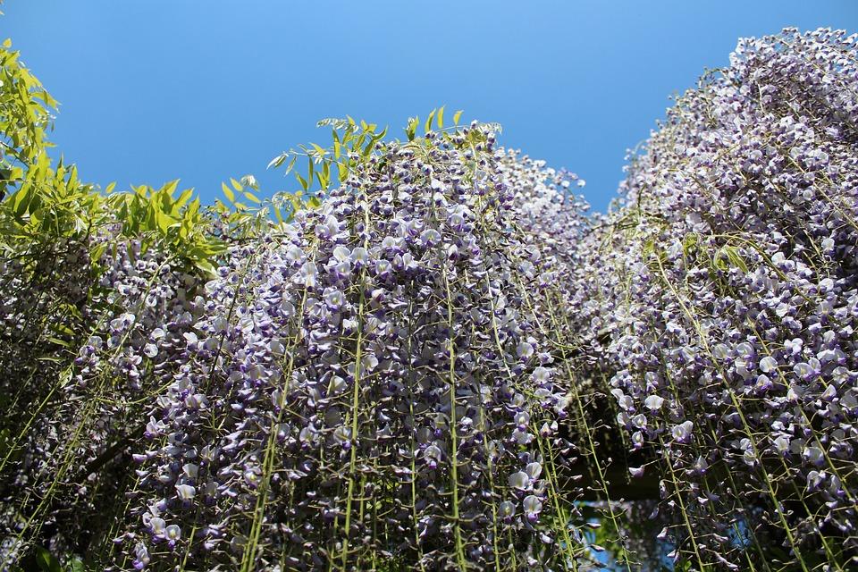 Flower, Nature, Flora, Season, Tree, Wisteria