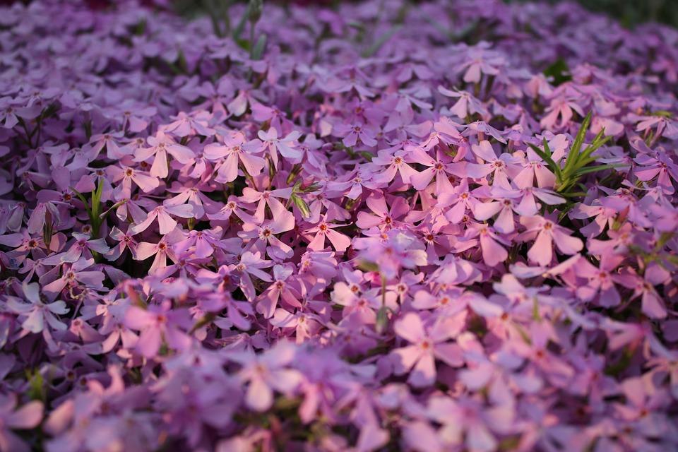 Flower, Plant, Nature, Season, Floral, Phlox Szydlasty