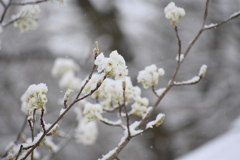 Branch, Tree, Flower, Nature, Season, Snow