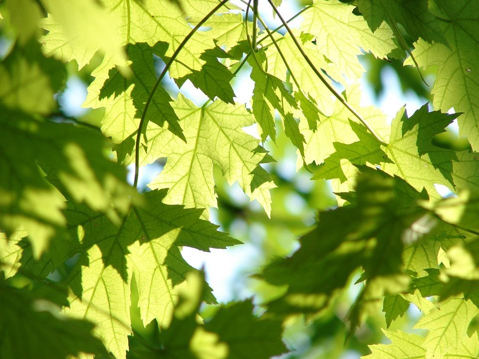 Leaves, Summer, Green, Maple, Season, Tree, Leaf