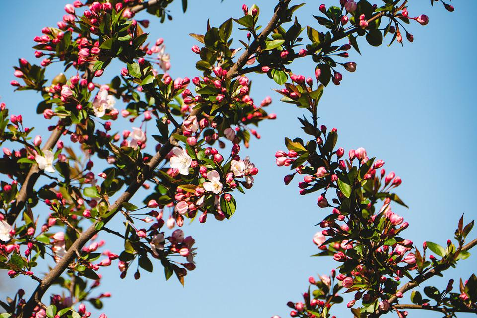 Cherry, Tree, Branch, Flower, Season, Flora