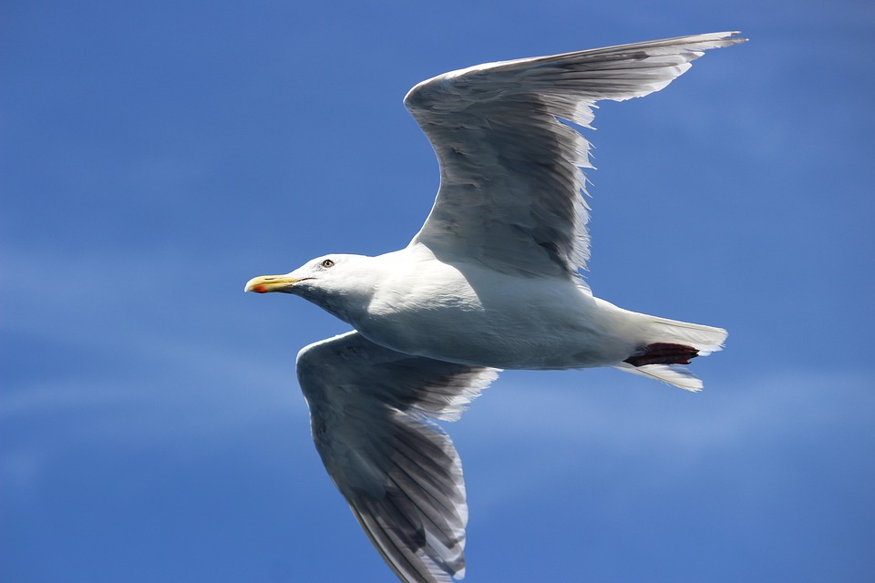 Seagull, Fly, Seattle