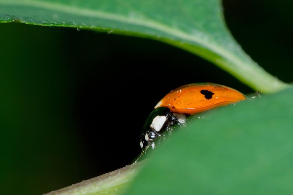 Ladybug, Detail, Ladybird, Sedmitečné, Insect, Macro