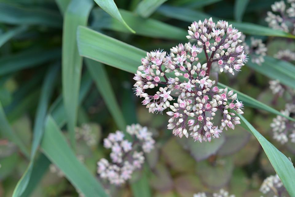 Kamchatka Stonecrop, Perennial, Sedum, Flower