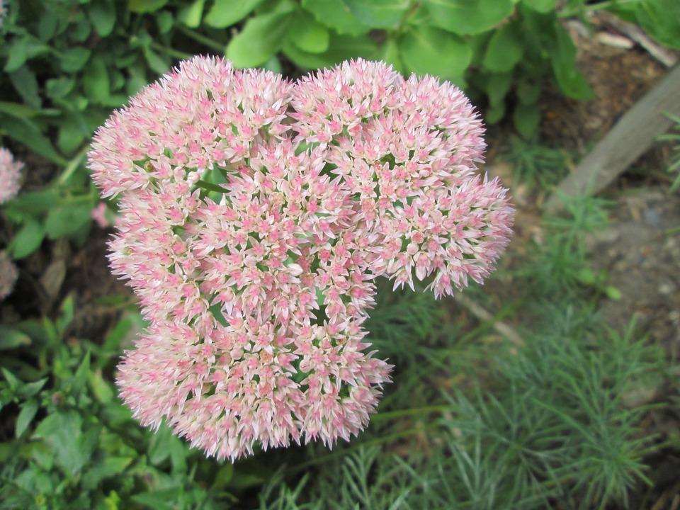 Sedum, Garden, Flower, Pink