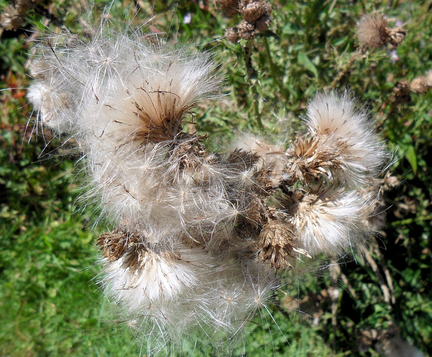 Dandelion, Blow, Flower, Seed, Close-up, Soft, Floral