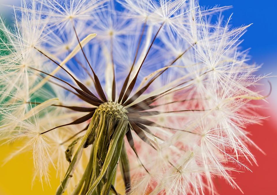Dandelion, Seed Head, Plant, Red-seeded Dandelion
