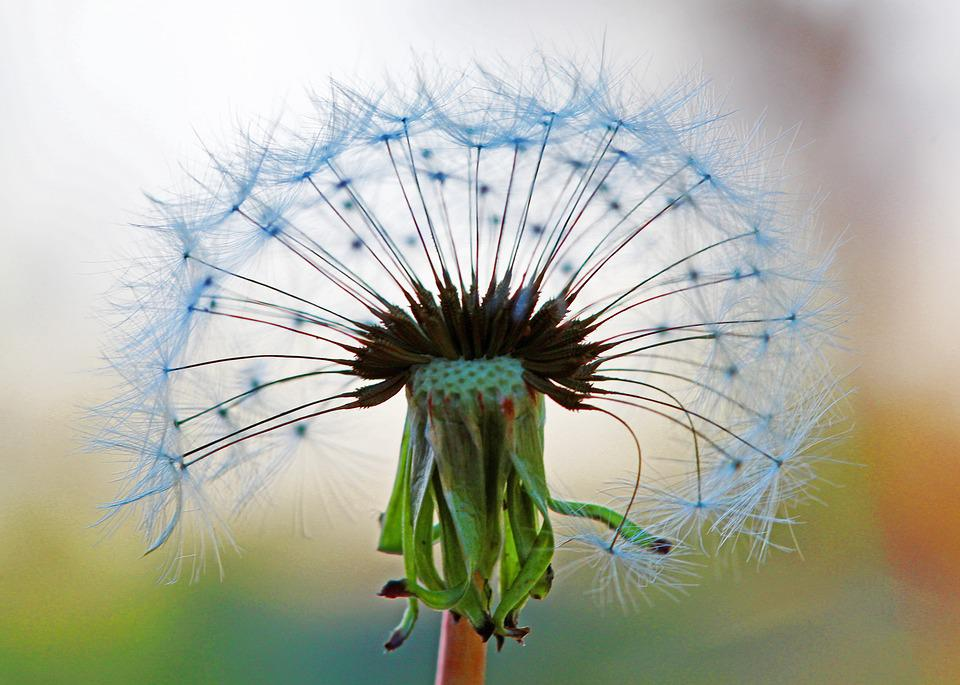 Seed Head, Dandelion, Silhouette, Plant, Weed, Nature