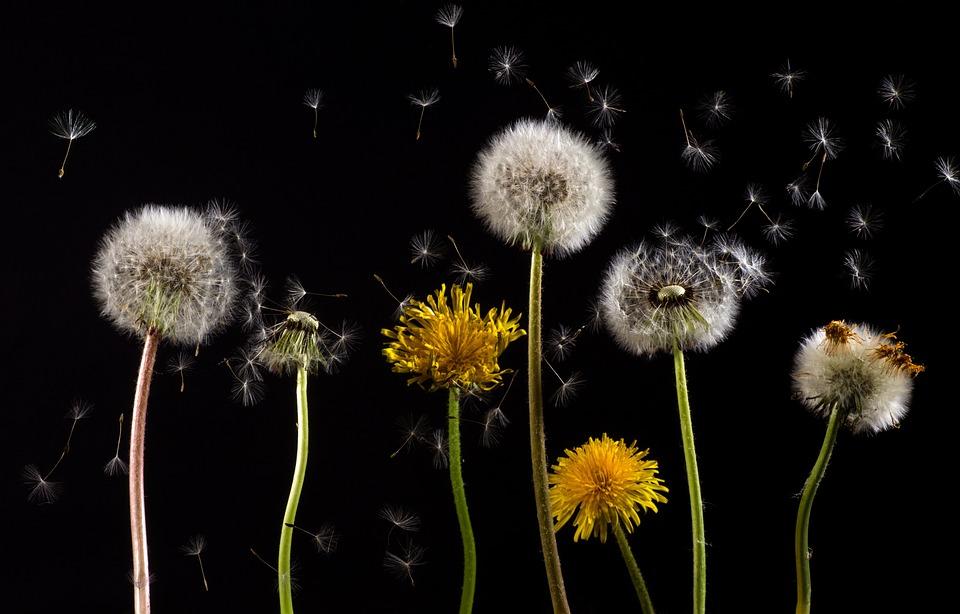 Dandelions, Flowers, Seed Head, Blowball