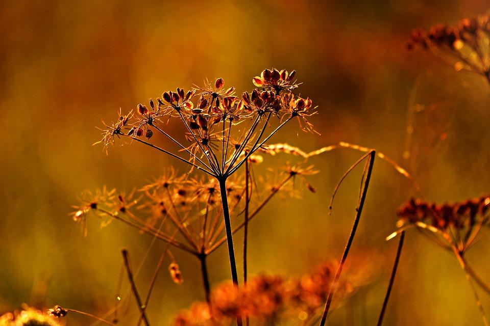 Seed Head, Grass, Plant, Nature, Summer